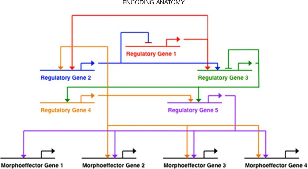 Encoding anatomy: developmental gene regulatory networks and ...