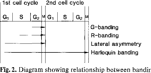 Figure 2 from fragile x expression relationship to the cell cycle diagram showing relationship between banding patterns and cell cycle ccuart Gallery