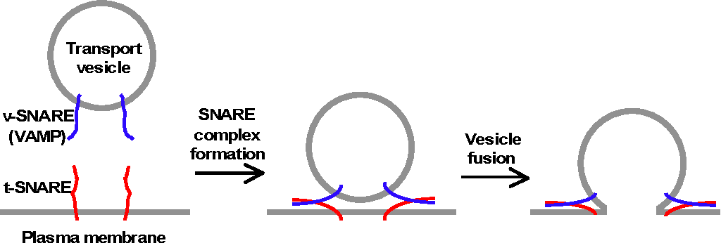 Analysis Of Snare Mediated Exocytosis Using A Cell Fusion Assay