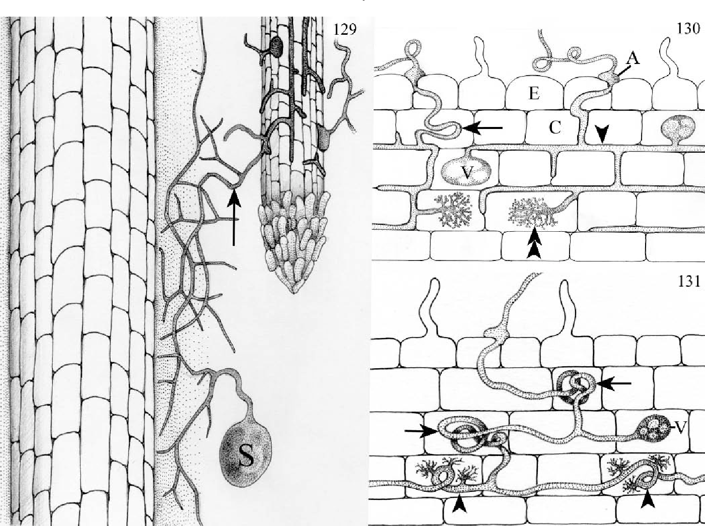 Mycorrhizas: Anatomy and Cell Biology