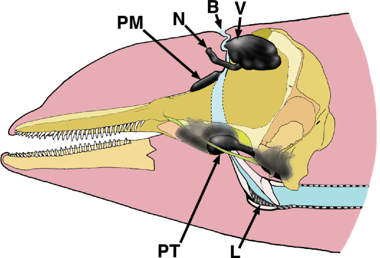 Figure 1 from sisters of the sinuses cetacean air sacs semantic schematic illustration of an odontocete head dolphin showing the positions ccuart Choice Image