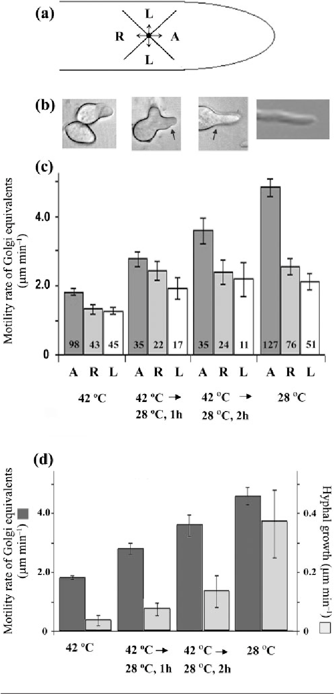 Fig. 3. Direction and speed of motion of A. nidulans GEs, localized with CopA–GFP, in 42 6C-grown hypA1 restrictivephenotype cells that were allowed to repolarize following a shift to 28 6C. (a) Direction of GE movement with respect to the hyphal tip: anterograde (A), retrograde (R) or lateral (L), as described in Methods. (b) Photomicrographs showing representative morphologies of hypA1 and repolarizing phenotypes. The arrows indicate new growth following a shift from 42 to 28 6C. GE movement is shown in repolarizing A. nidulans hypA1 cells, which produce wildtype branches (arrows indicate the growth transition associated with the shift from 42 to 28 6C). (c) GE motility in hypA1 restrictive and repolarizing A. nidulans AAB1 cells. Spores were grown for 14 h at 42 6C. For the repolarizing phenotypes, AAB1 spores were grown at 42 6C for 14 h, then shifted to 28 6C for 1 or 2 h. For the permissive phenotype, AAB1 spores were grown at 28 6C. Bars indicate rate of GE movement±SEM for each direction, with the numbers indicating the total number of GEs analysed from five cells. GE movement was predominantly anterograde, and was significantly faster than movement in other directions. (d) Anterograde GE movement (dark-grey bars) compared with tip growth rate (light-grey bars) for the cells shown in (c) was always at least 10-fold higher than the growth rate; note that the y-axis scales are 10-fold different. Both GE movement and growth rates increased significantly during cell repolarization. Error bars show SEM.