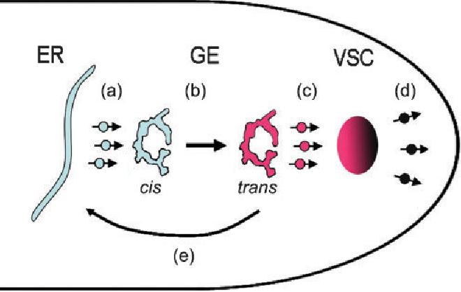 Fig. 5. Model describing how anterograde GE movement might contribute to hyphal tip growth. Aspergillus GEs are single pleiomorphic cisternae; this cartoon was adapted from a freezesubstitution transmission electron micrograph (see figure 4a in Kurtz et al., 1994). (a) Endoplasmic reticulum (ER) to GE transport. GEs are transported toward the hyphal tip (b) at rates roughly 10- fold higher than that of tip growth. Maturation of cis-Golgi to transGolgi (indicated by colour change) may occur during anterograde transport. GEs do not accumulate at the hyphal tip because they unload their cargo (c) near the Spitzenkörper (vesicular supply centre; VSC). Changes in vesicle membranes associated with the VSC (indicated by colour gradient; individual vesicles are not shown) permit them to fuse with the cell membrane for secretion at the hyphal tip (d). Currently it is unclear whether the Golgi are disassembled or recycled following uploading. If GEs that have unloaded their cargo are recycled to subapical regions to collect more cargo, this could comprise a portion of the lateral or retrograde GE motility (e). Stages (a) and (c) and transit from the VSC to the cell membrane are depicted as being predominantly mediated by vesicle traffic, although direct ER–GE transport by transfer ER has been postulated for plants and certain yeasts.