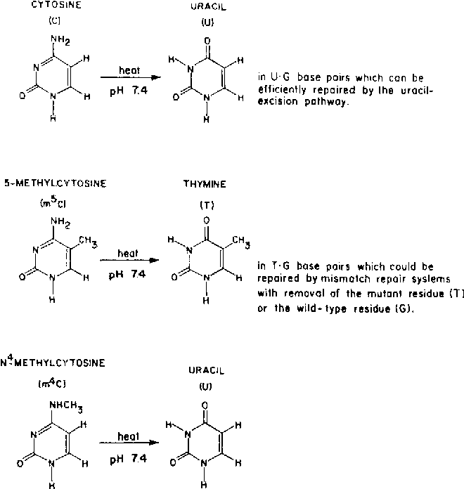 Fig. 1. Simplified scheme for deamination of cytosine and its naturally occurring methylated derivatives in DNA. For simplicity, the free bases are shown rather than the N t-deoxyribosyl derivatives found in DNA.