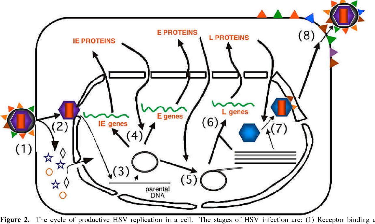 Figure 2 from Herpes simplex virus  - Semantic Scholar