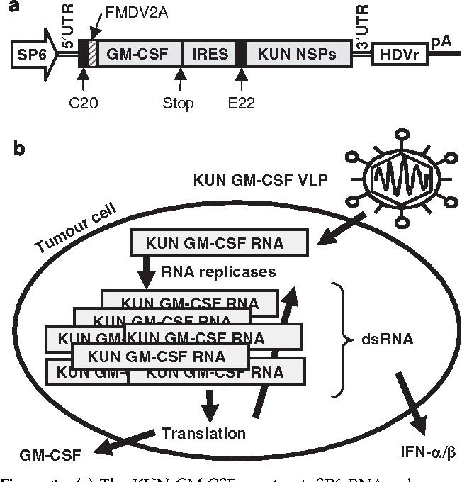 A Kunjin replicon vector encoding granulocyte macrophage colony