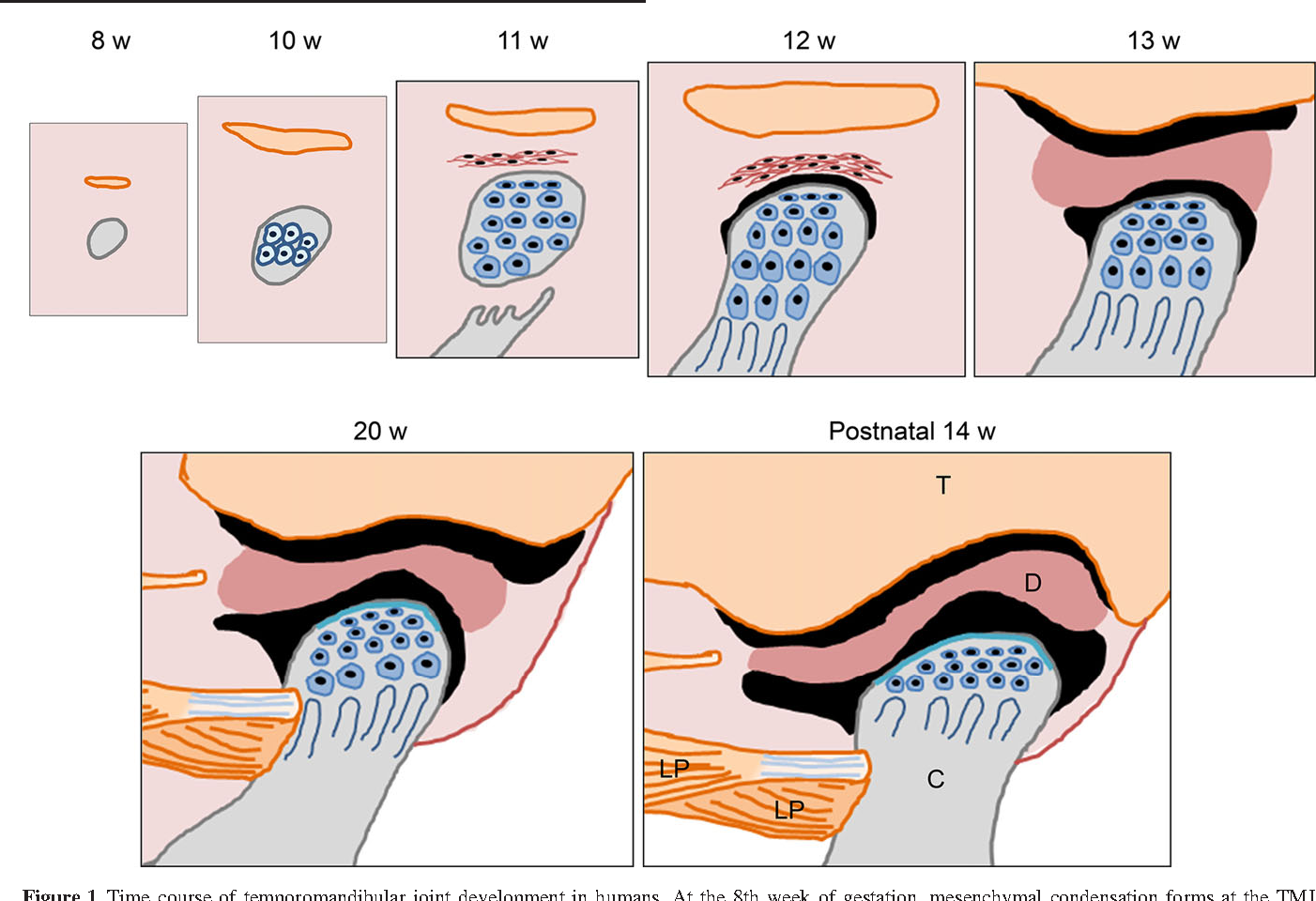 Mouse genetic models for temporomandibular joint development and ...