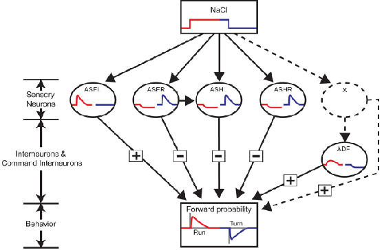 Figure 1 for A neural circuit for navigation inspired by C. elegans Chemotaxis