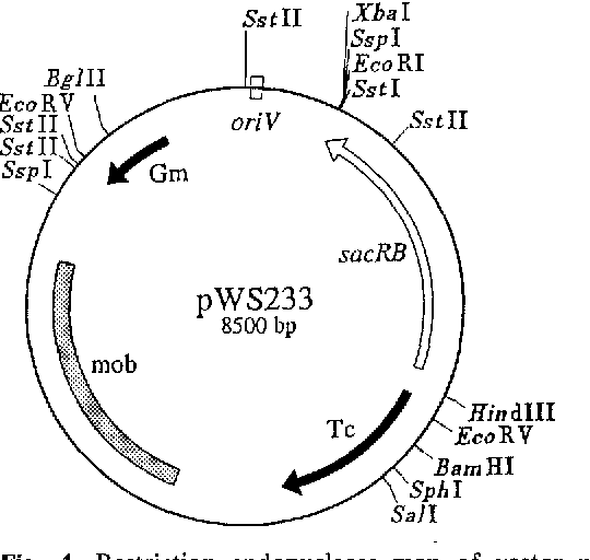 Figure 4 From Construction Of Gene Replacement Vectors For Gram
