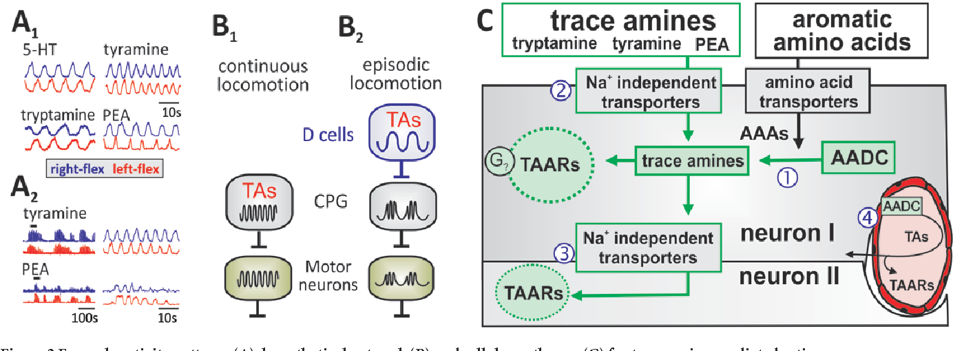 Figure 2 Example activity patterns (A), hypothetical network (B) and cellular pathways (C) for trace amine-mediated actions.