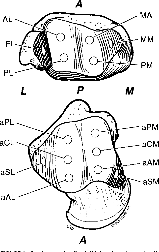 Biomechanical Topography Of Human Ankle Cartilage