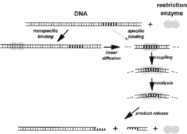 Figure 2 Schematic Illustration Of The Steps Involved In DNA Binding And Cleavage By Type