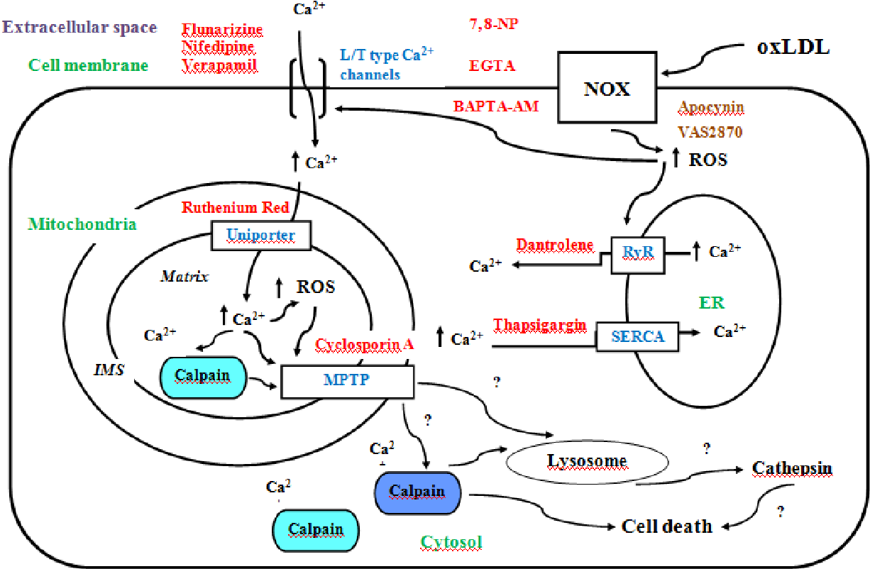 Figure 17 Overall diagram of proposed pathways for oxLDL toxicity and agents used to lessen oxLDL-mediated cell death