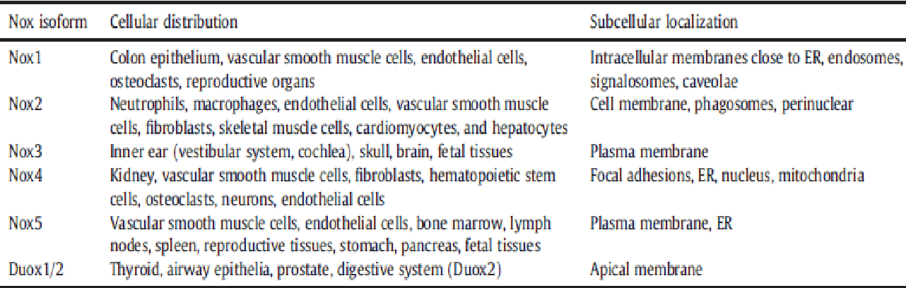 Table 1.2. Cellular distributions and localization of NOX homologs play a vital role as to how individual NOX regulate signaling (Al Ghouleh et al., 2011). Nevertheless, it should be noted that different species may have different profiles of NOX protein expression. For example, NOX5 is not expressed in the vasculature of rodents (Maru et al., 2005) whereas DUOX1/2 are not expressed in mouse airway epithelial cells.