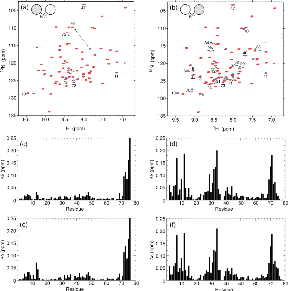 Figure 4. Overlay of 1H 15N TROSY-HSQC spectra of (a) the distal Ub and (b) the proximal Ub in all-natural K11-linked Ub2 (red) and of WT Ub (blue). The spectral differences between K11-linked di-Ub and mono-Ub, quantified as amide chemical shift perturbations (CSPs), are plotted as a function of the residue number for (c,e) distal Ub and (d,f) proximal Ub in (c,d) all-natural K11-linked Ub2 and (e,f) enzymatically synthesized K11linked Ub2. The CSPs were calculated as Δδ = [(ΔδH) 2 + (ΔδN/5) 2]1/2, where ΔδH and ΔδN are chemical shift differences for 1H and 15N, respectively. Residues with significant CSPs are indicated on the spectra in panels a and b. Note that the absence of the K11 backbone amide signal in the spectra of K11-linked Ub2 (panels a and b) serves as a direct confirmation of the incorporation of the unlabeled Lys at residue 11.