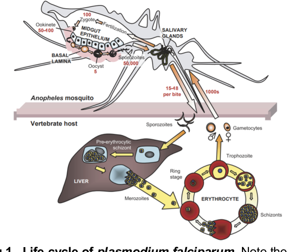 Figure 1 for An Efficient Production Process for Extracting Salivary Glands from Mosquitoes