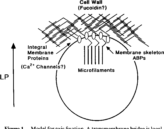 Figure 1 From Calcium And Early Development In Fucoid Algae