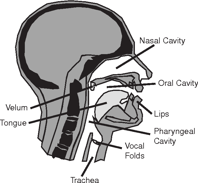 Fig. 1. Arrangement of vocal organs inside the head and neck.