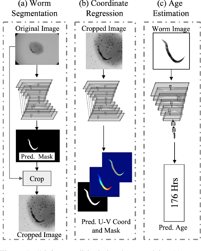 Figure 1 for Celeganser: Automated Analysis of Nematode Morphology and Age