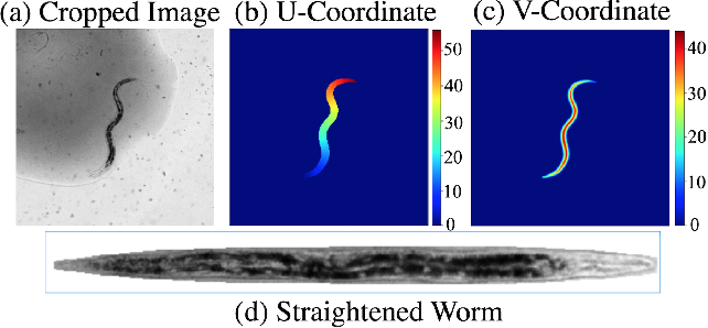 Figure 3 for Celeganser: Automated Analysis of Nematode Morphology and Age