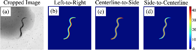Figure 4 for Celeganser: Automated Analysis of Nematode Morphology and Age