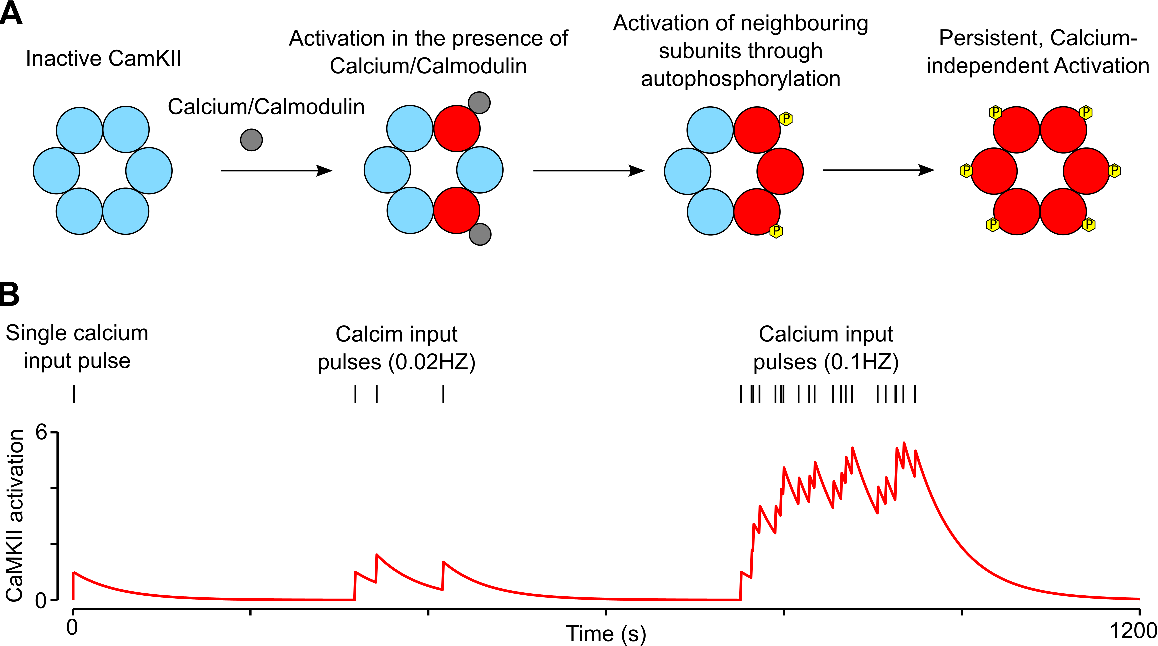 Figure 1 for CaMKII activation supports reward-based neural network optimization through Hamiltonian sampling
