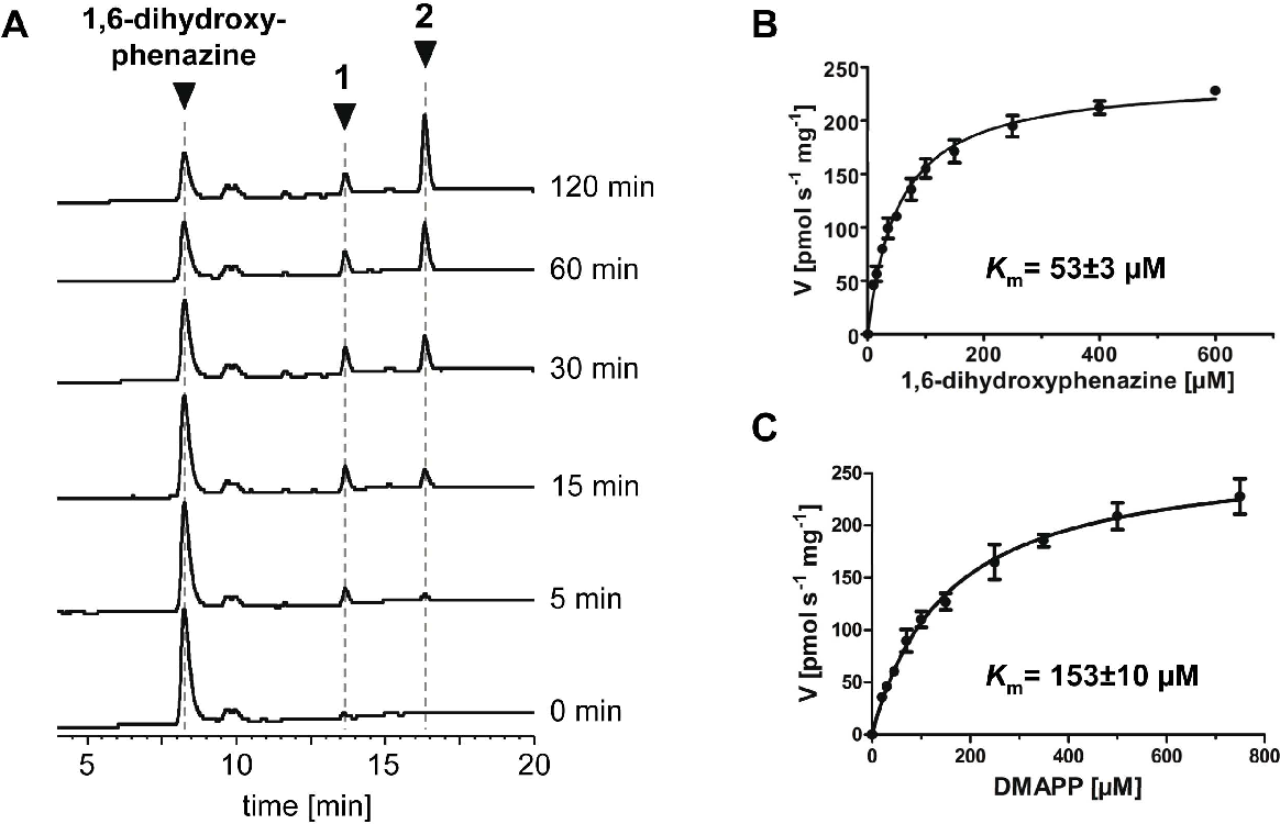Figure 4. Biochemical investigation of the Mpz10 reaction. (A) HPLC analysis of the time-dependent formation of products 1 and 2. Detection: UV, 275 nm. (B) and (C): Product formation at different concentrations of 1,6-dihydroxyphenazine and dimethylallyl diphosphate (DMAPP). In the experiments shown in (B), DMAPP was kept constant at 0.5 mM. In the experiments shown in (C), 1,6-dihydroxyphenazine was kept constant at 0.2 mM. Km values were determined by nonlinear regression, using GraphPad Prism software. Data represent mean 6 SD of triplicate determinations. doi:10.1371/journal.pone.0099122.g004
