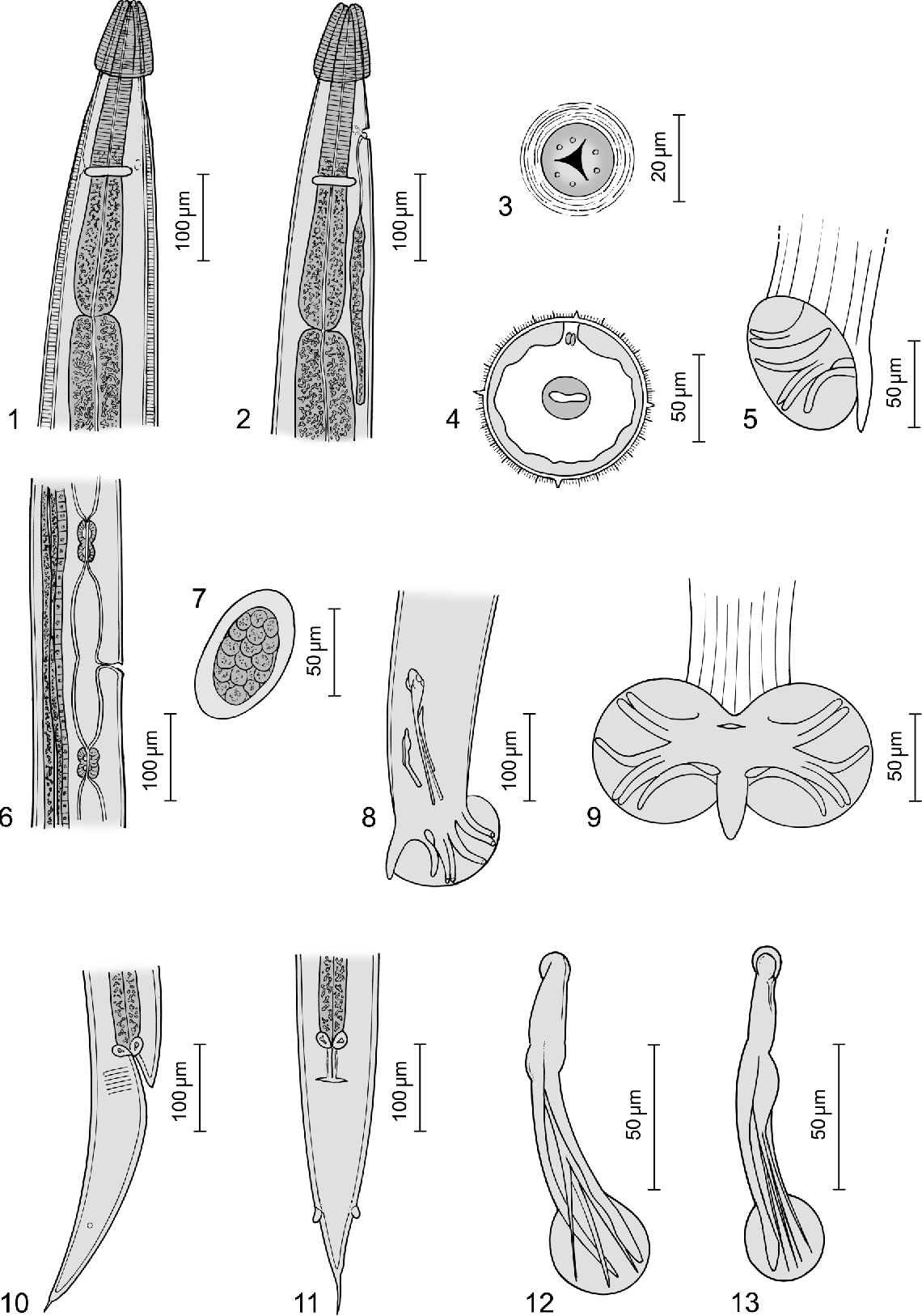 New species of bakeria nematoda strongylida molineidae new figure 113 pooptronica Gallery