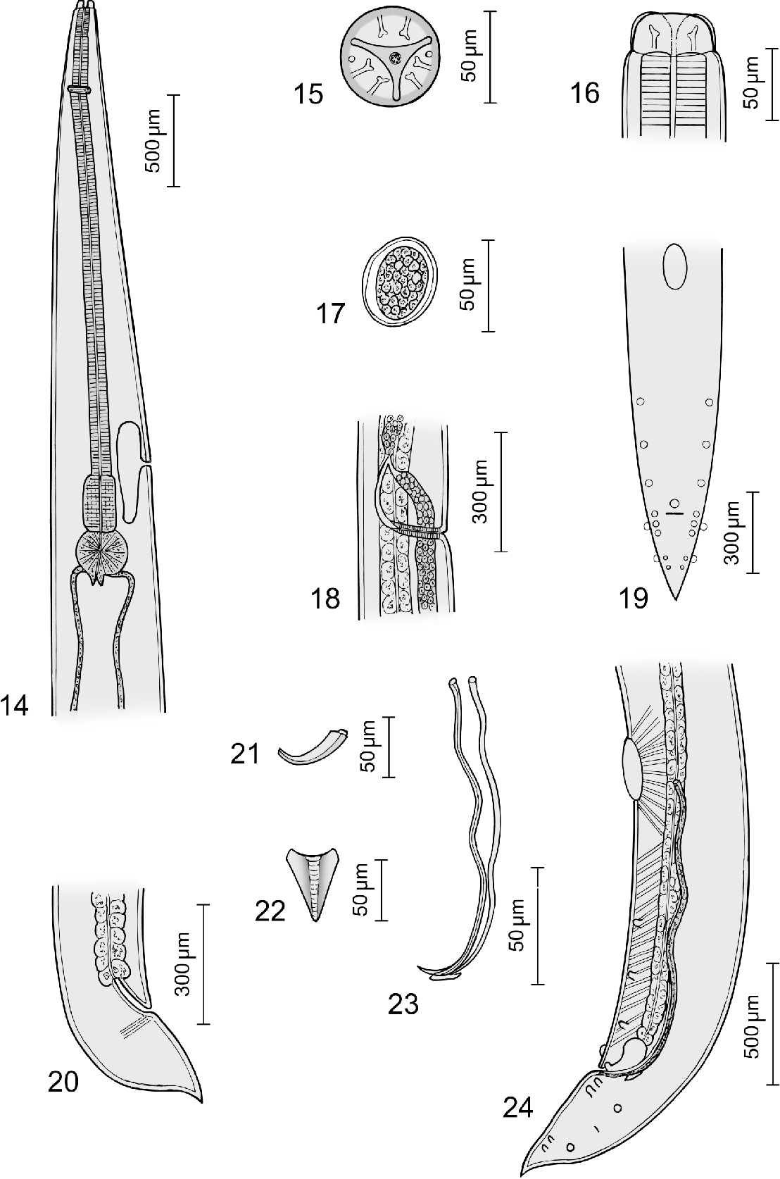 New species of bakeria nematoda strongylida molineidae new figure 1424 pooptronica Gallery