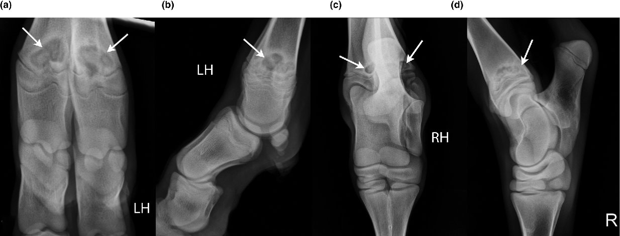 Figure 10 from Radiographic anatomy of juvenile bovine limbs ...