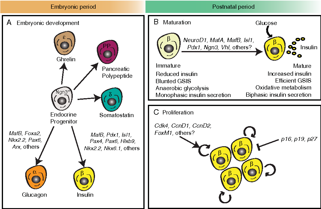 Figure 4 From Deconstructing Pancreas Developmental Biology