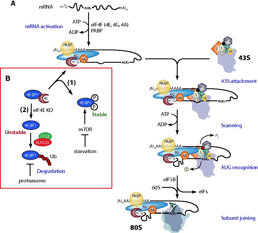 Figure 1 From Translational Homeostasis Via EIF4E And 4E