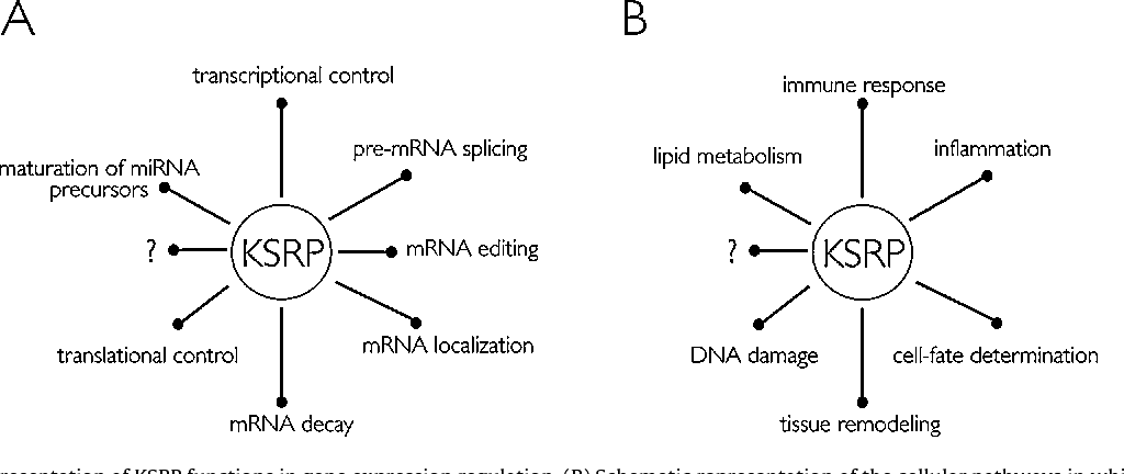 Figure 1 from ksrp controls pleiotropic cellular functions a schematic representation of ksrp functions in gene expression regulat ccuart