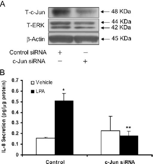 Figure 9 Effect of c-Jun siRNA on LPA-induced IL-8 secretion
