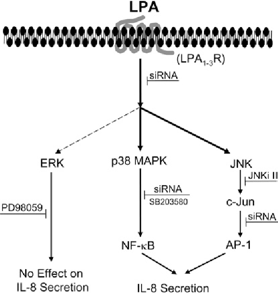 Figure 11 Proposed MAPK signalling involved in LPA-induced IL-8 secretion
