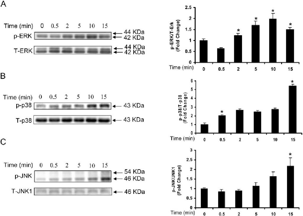 Figure 2 LPA stimulates phosphorylation of MAPKs in HBEpCs