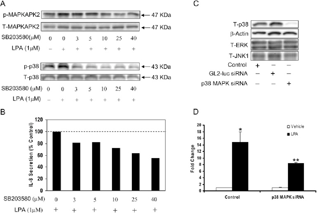 Figure 4 p38 MAPK siRNA and SB-203580 attenuate LPA-induced IL-8 secretion in HBEpCs