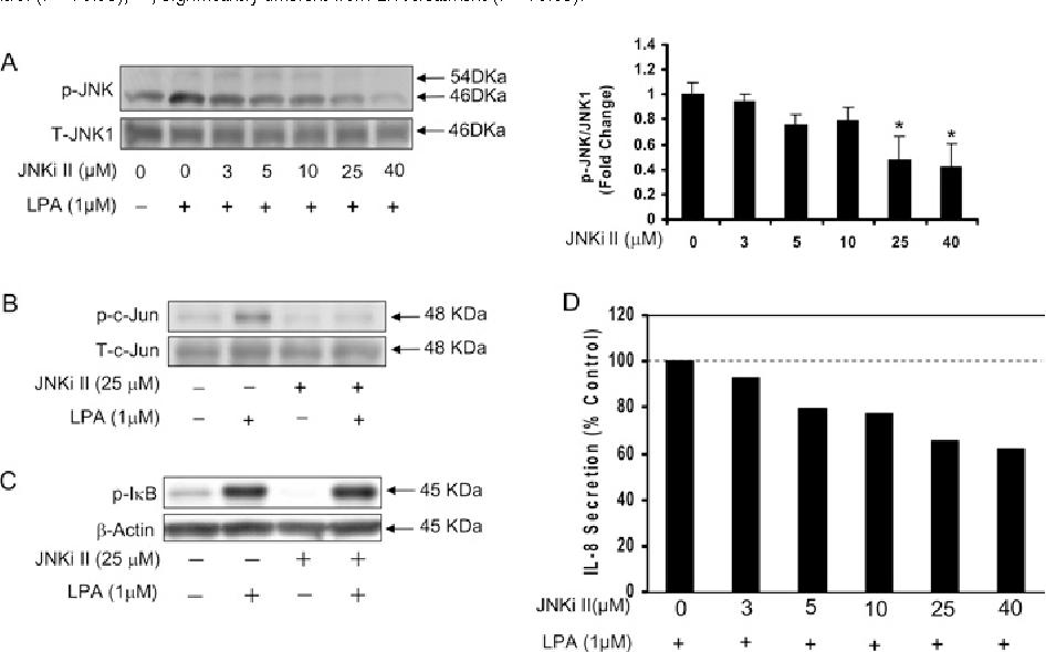 Figure 5 Effect of JNKi II on LPA-induced phosphorylation of JNK and c-Jun and IL-8 secretion in HBEpCs