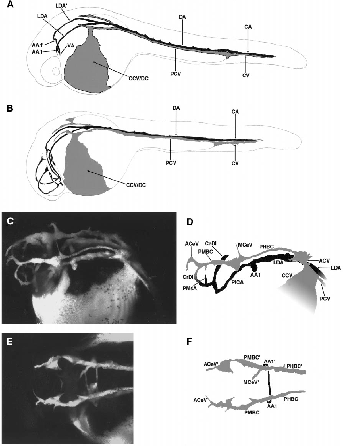 The vascular anatomy of the developing zebrafish: an atlas of ...