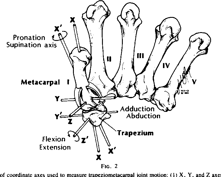 Figure 2 From The Kinesiology Of The Thumb Trapeziometacarpal Joint