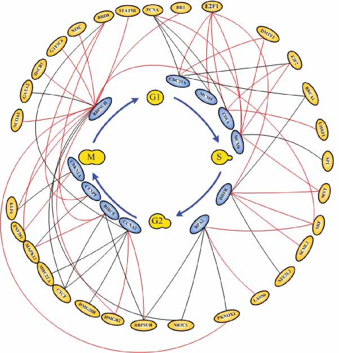 Figure 5. The miniature cancer cell cycle network. In this fi gure we just list some E2F target genes and show the role of E2F transcription factors in cancer cell cycle (Muller and Helin 2000). Red solid lines represent positive regulations and black solid lines represent negative regulations.