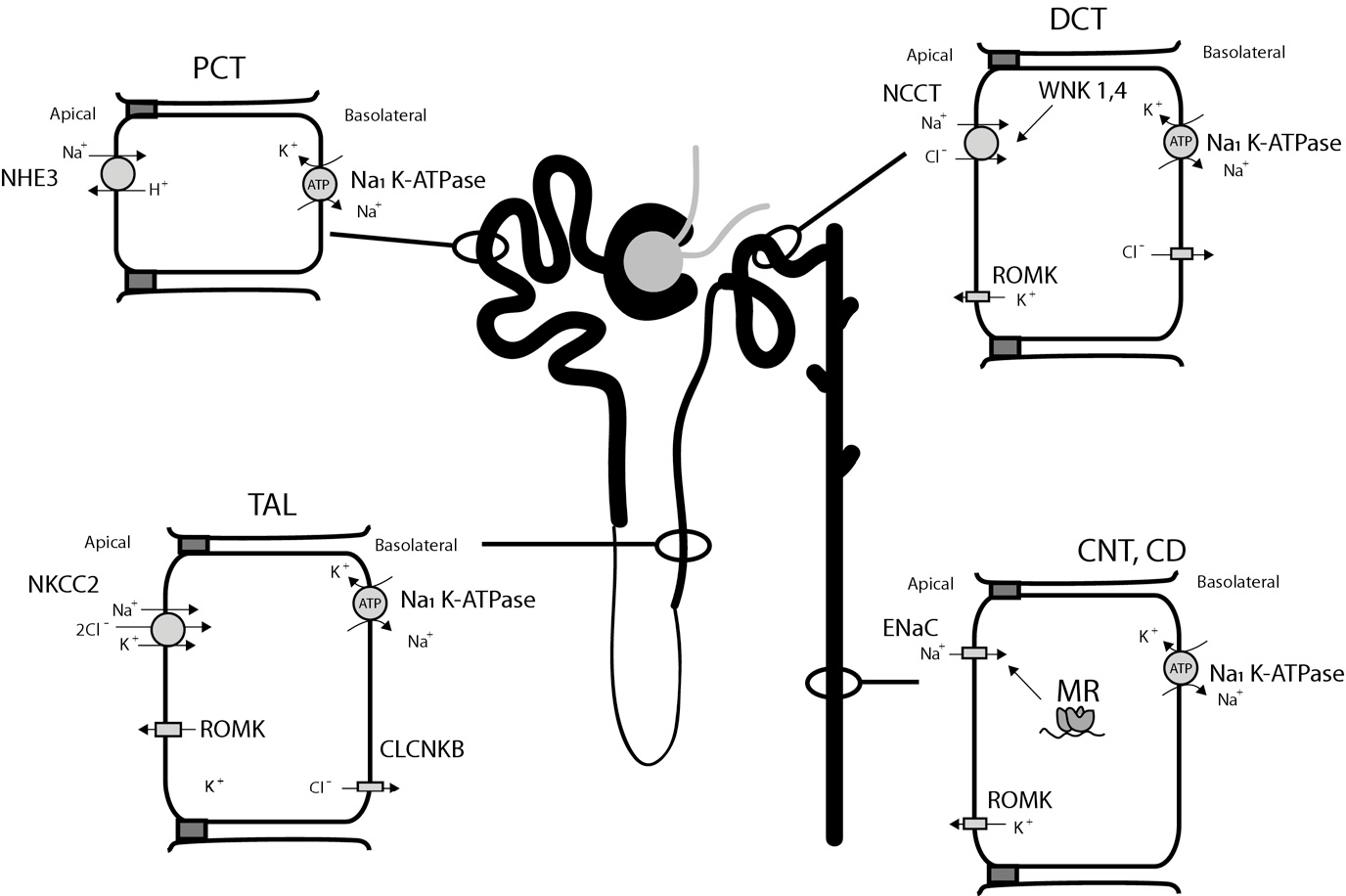 nephron labeled diagram of human