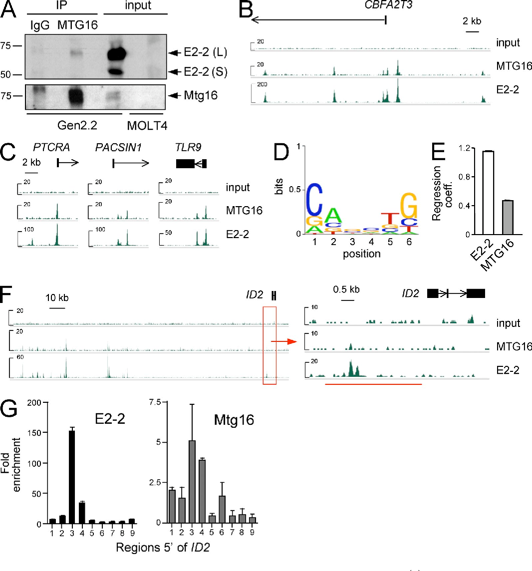 "Figure 7. Mtg16 is recruited to chromatin through E2-2 and is enriched at the ID2 locus in pDCs. (A) Coimmunoprecipitation of endogenous E2-2 and MTG16 in the human pDC cell line Gen2.2. Shown are E2-2 and MTG16 immunoblots of Gen2.2 cell lysates immunoprecipitated (IP) with control IgG or anti-MTG16 antibodies or total input from Gen2.2 or a control non-pDC cell line MOLT-4. Molecular mass markers (kilodaltons) and the long (L) and short (S) isoforms of E2-2 are indicated. Representative of two experiments; the same results were obtained in another pDC cell line, CAL-1 (not depicted). (B) Chromatin enrichment peaks at the CBFA2T3 (MTG16) locus after ChIP-Seq for MTG16 and E2-2 from human pDC cell line CAL-1. Shown are the signal tracks for the total chromatin input, MTG16, and E2-2 ChIP. (C) Chromatin enrichment peaks of MTG16 and E2-2 at the promoters of pDCenriched genes, as shown in B. (D) A consensus sequence motif of ChIP-Seq peaks of E2-2 in CAL-1 cells, with the ""height"" of each base corresponding to its frequency at a given position. (E) Regression coefficients of the linear model that predicts the binding of E2-2 or MTG16 according to the motif in D (mean ± SEM of >105 events). (F) Chromatin enrichment peaks of MTG16 and E2-2 at the ID2 locus in the human pDC cell line CAL-1. ChIP signals are shown across 180 kb of the locus and zoomed across 10 kb of its 5 region. (G) qPCR analysis of MTG16 and E2-2 binding to the ID2 promoter in CAL-1. Unamplified chromatin from MTG16 and E2-2 ChIP was analyzed by qPCR with nine primers evenly spanning the 4-kb region 5 of ID2 (red underline in F). Results represent mean ± SD of triplicate PCR reactions from a single experiment; enrichment of the fragment #3 has been confirmed in an independent experiment and also observed in pDC cell line Gen2.2."