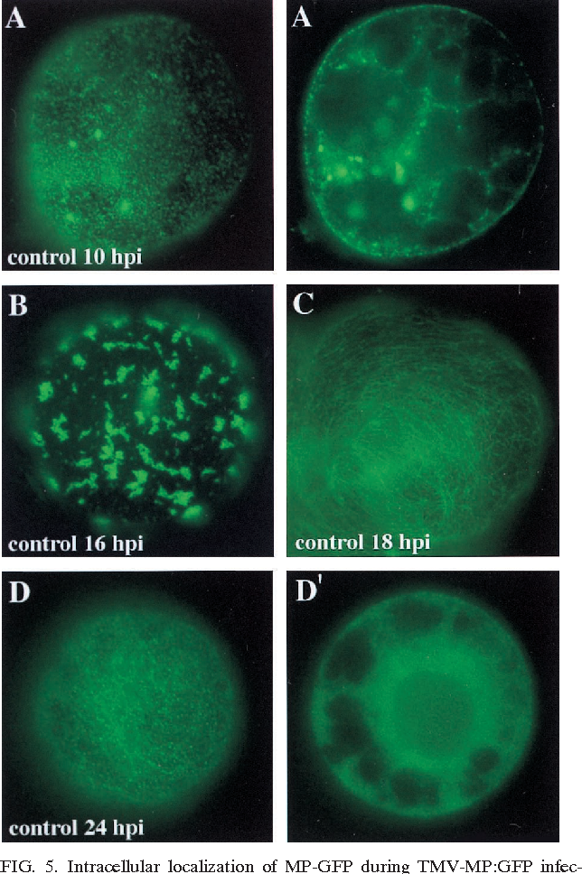 FIG. 5. Intracellular localization of MP-GFP during TMV-MP:GFP infection. Tobacco BY-2 protoplasts were cultured in the absence of protease or proteasome inhibitors, and aliquots were prepared for conventional fluorescence microscopy of living cells at 10, 16, 18, and 24 hpi. Panels A, A9, D, and D9 represent peripheral views (A and D) and nuclear sections (A9 and D9) of single protoplasts.