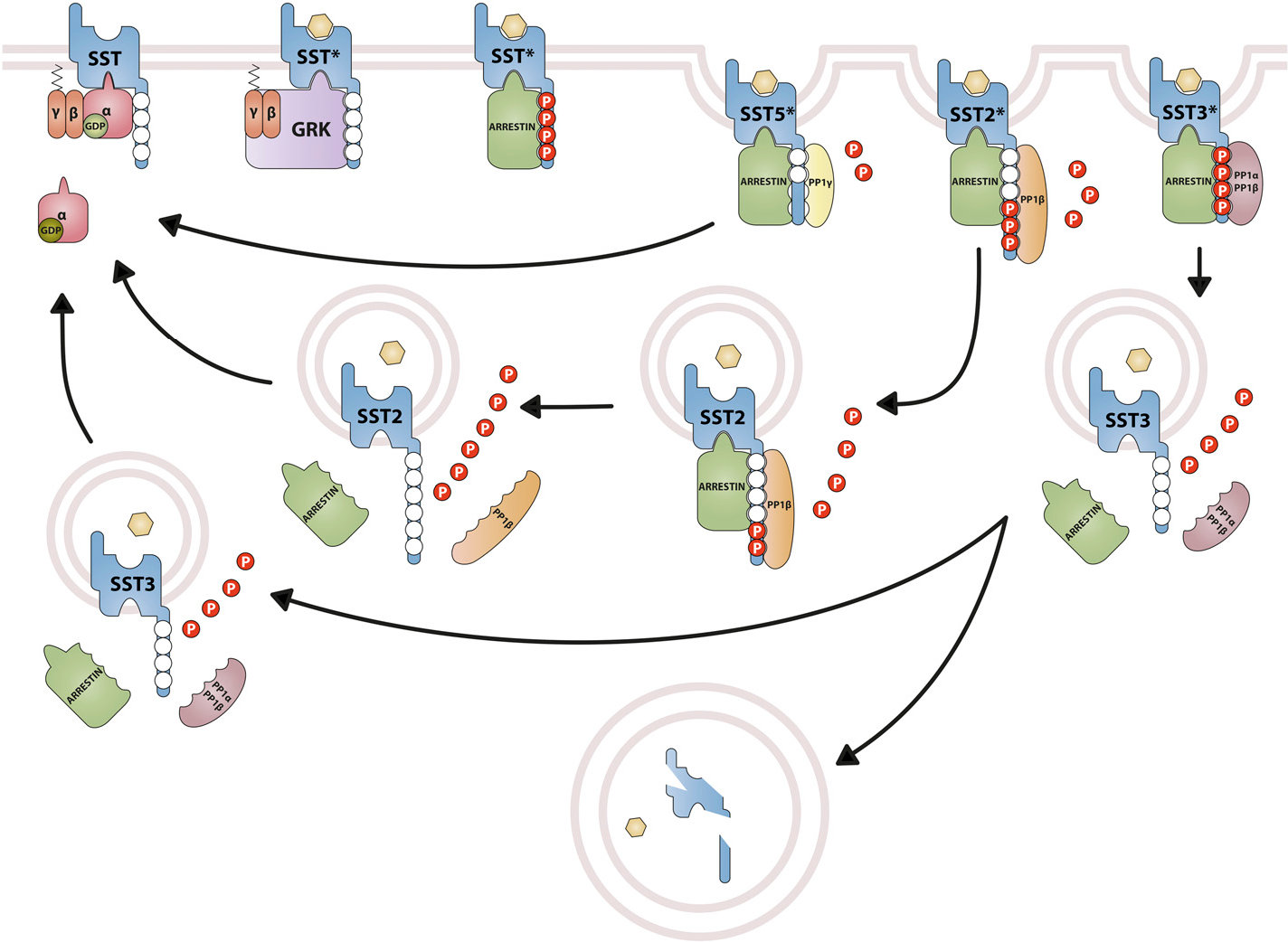 Fig. 20. Differential trafficking of somatostatin receptors. Agonist activation of SSTs triggers activation of the associated heterotrimeric G protein that in turn stimulates a second messenger system. Quenching of this signal involves phosphorylation of the receptor by GRKs. Phosphorylation by GRKs increases the affinity for arrestins, which uncouple the receptor from the G protein and target the receptor to clathrincoated pits for internalization. Return to its resting state requires dissociation or degradation of the agonist, dephosphorylation, and dissociation of arrestin. For SST5, the catalytic PP1g subunit was identified to catalyze S/T dephosphorylation at the plasma membrane within seconds to minutes after agonist removal. SST5 forms unstable complexes with arrestins that are rapidly disrupted. After dephosphorylation, SST5 is either resensitized at the plasma membrane or recycled back through an endosomal pathway. For SST2, the catalytic PP1b subunit was identified to catalyze S/T dephosphorylation. SST2 forms stable complexes with arrestins that cointernalize into the same endocytic vesicles. This dephosphorylation process is initiated at the plasmamembrane and continues along the endosomal pathway. PP1b-mediated dephosphorylation promotes dissociation of arrestins and, hence, facilitates quenching of arrestin-dependent signaling. Subsequently, SST2 is recycled back through an endosomal pathway to the plasma membrane. For SST3, the catalytic PP1a/b subunits were identified to catalyze S/T dephosphorylation at the plasma membrane within seconds to minutes after agonist removal. SST3 forms unstable complexes with arrestins that are rapidly disrupted. After dephosphorylation, SST3 is either subject to lysosomal degradation or recycled back to the plasma membrane through an endosomal pathway.
