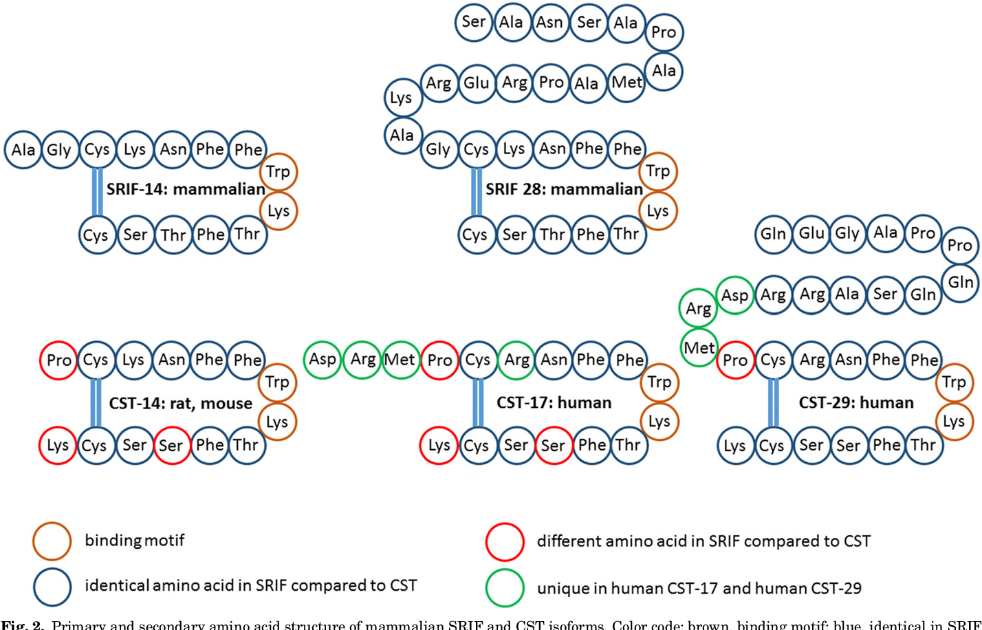 Fig. 2. Primary and secondary amino acid structure of mammalian SRIF and CST isoforms. Color code: brown, binding motif; blue, identical in SRIF and CST; red, different in CST compared with SRIF; green, not present in rat/mouse CST-14.