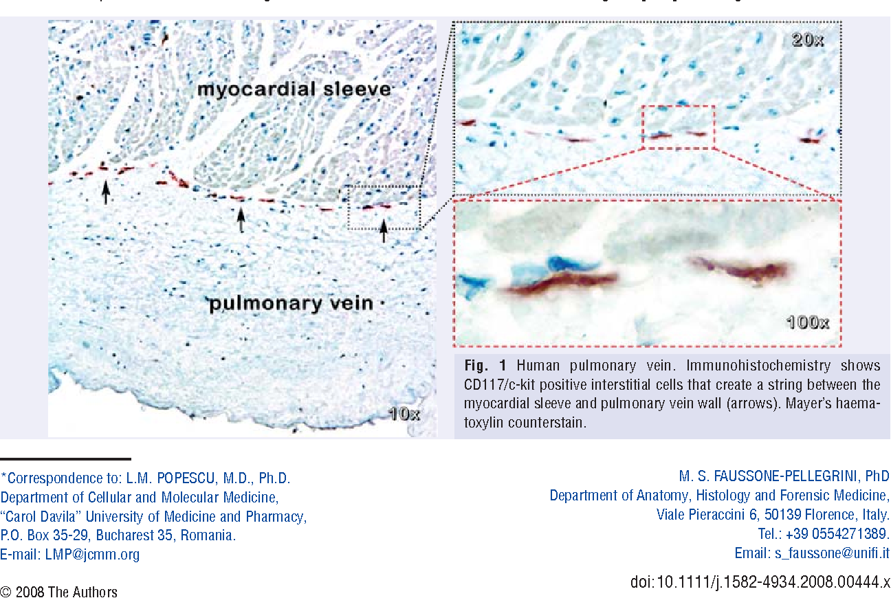 Figure 1 from Interstitial Cajal-like cells (ICLC) in myocardial ...