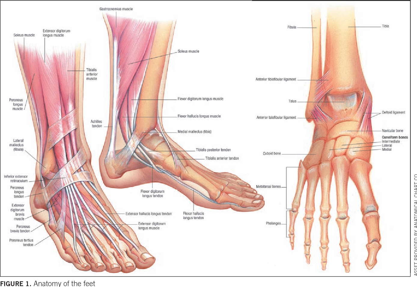 Figure 1 from Recognizing and managing common foot injuries ...