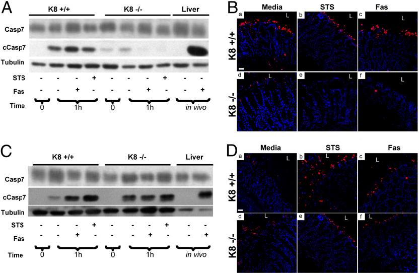 Fig. 3. Antibiotic treatment of mice reverses the K8−/−