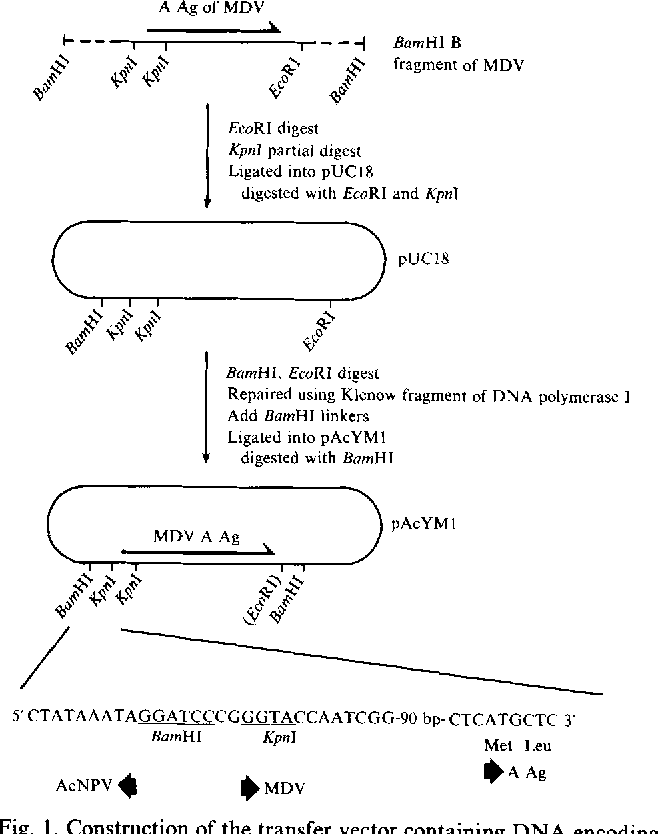 Figure 1 from Expression of the A antigen (gp57-65) of